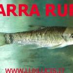 """Garra Rufa: una """"cura"""" naturale per psoriasi, calli, duroni, pelle invecchiata,… pedicure, manicure"""